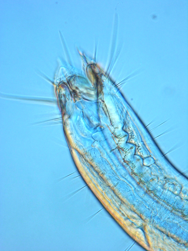 Nematodes are round worms that can be found in sediment or for Hamilton fish library